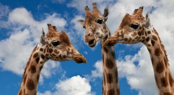 Бородач шарить: як жираф чистить собі вуха?