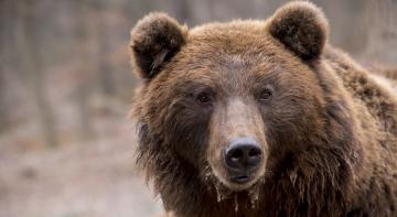 Бомба, Ракета, Позитив - безстрашна жіночка проти ведмедя